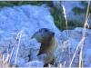 Marmotte du Vercors - Sentier du Pic St Michel
