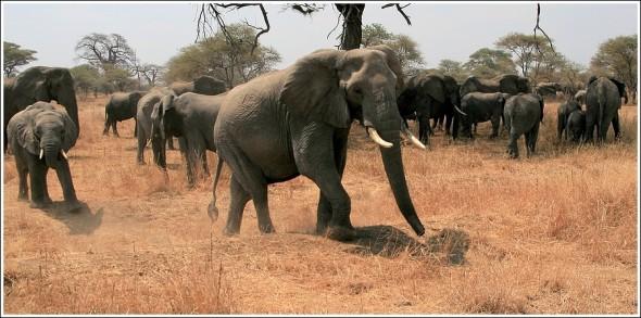 Rencontre avec les éléphants du Tarangire ...