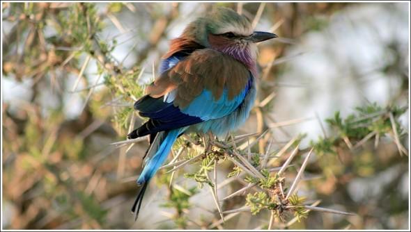 Oiseau du matin, parc du Serengeti ...