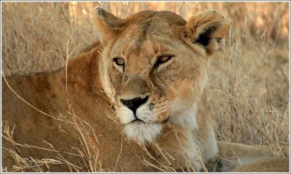 Le lion du Serengeti ...